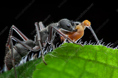 Ant preying on caterpillar