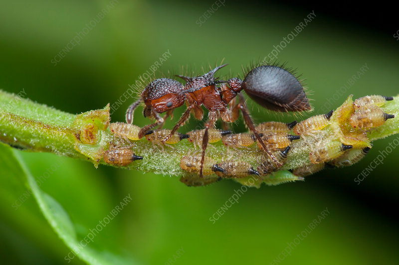 Ant milking treehopper nymph