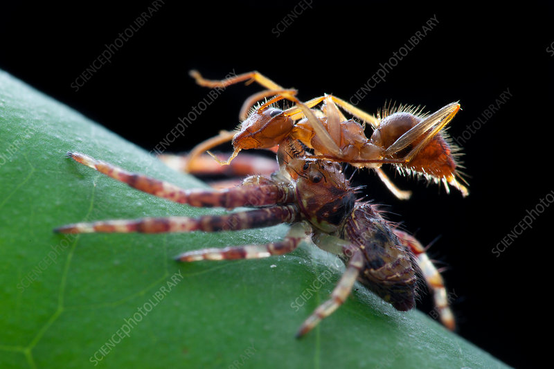 Crab spider preying on ant