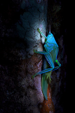 Katydid under UV light
