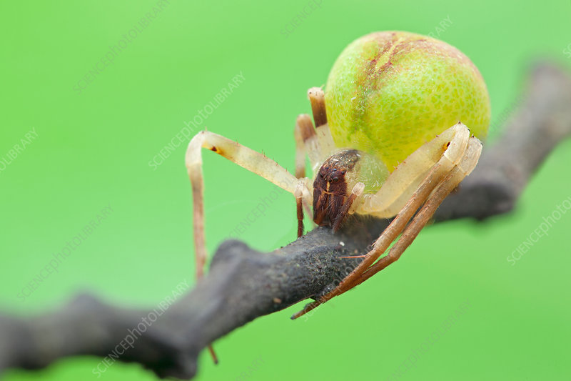 Crab spider on branch