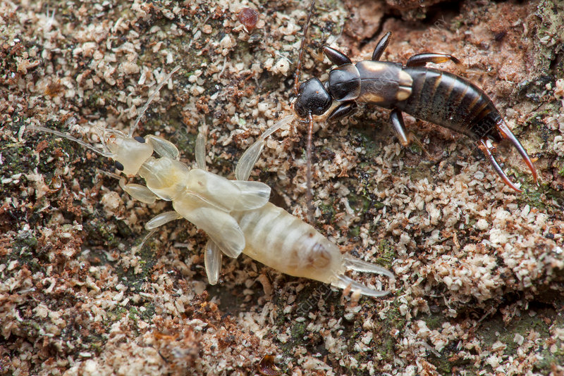 Newly moulted earwig