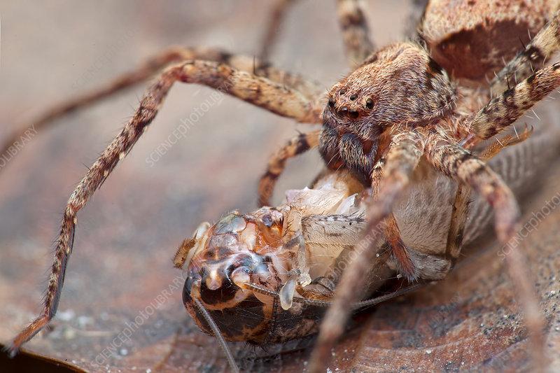 Huntsman spider with prey