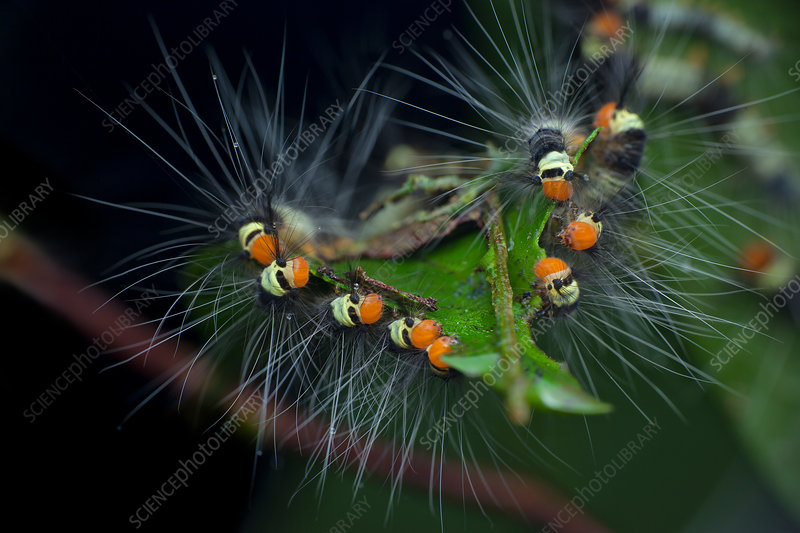 Hairy caterpillars feeding
