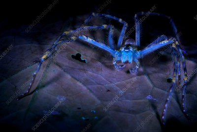 Huntsman spider under UV light