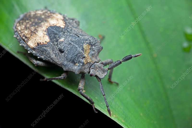 Shield bug on leaf