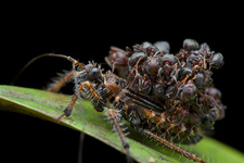 Ant-snatching assassin bug