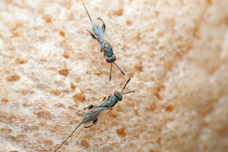 Parasitic wasps