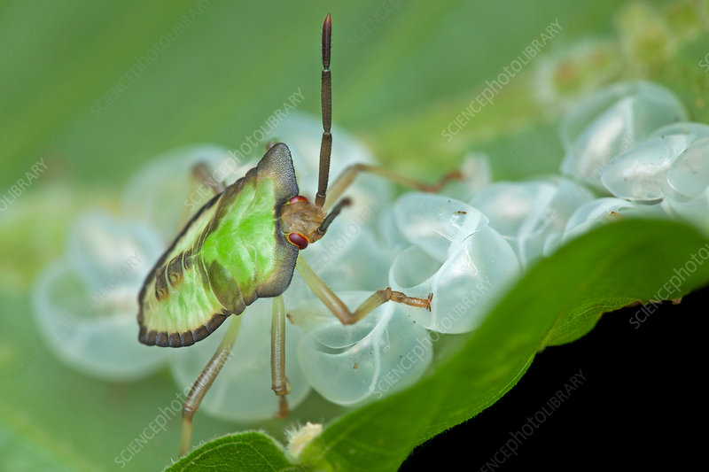 Baby shield bug on leaf