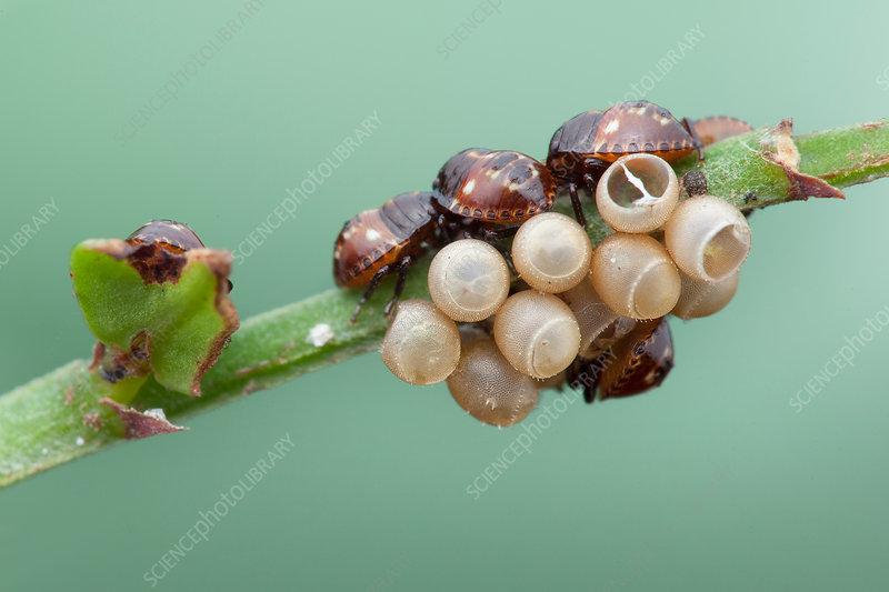 Baby shield bugs