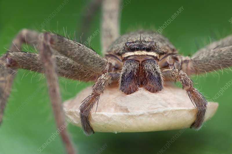 Huntsman spider with egg sac
