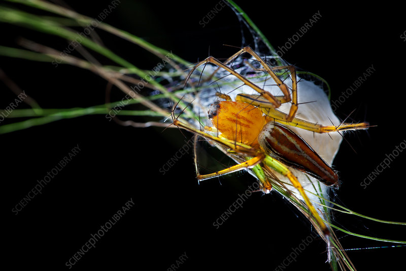 Lynx spider with egg sac