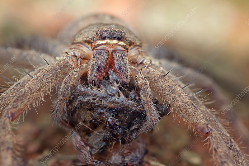 Huntsman spider with prey