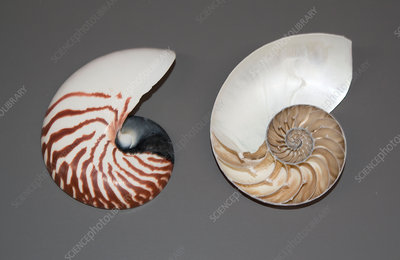 Nautilus shells, whole and sectioned