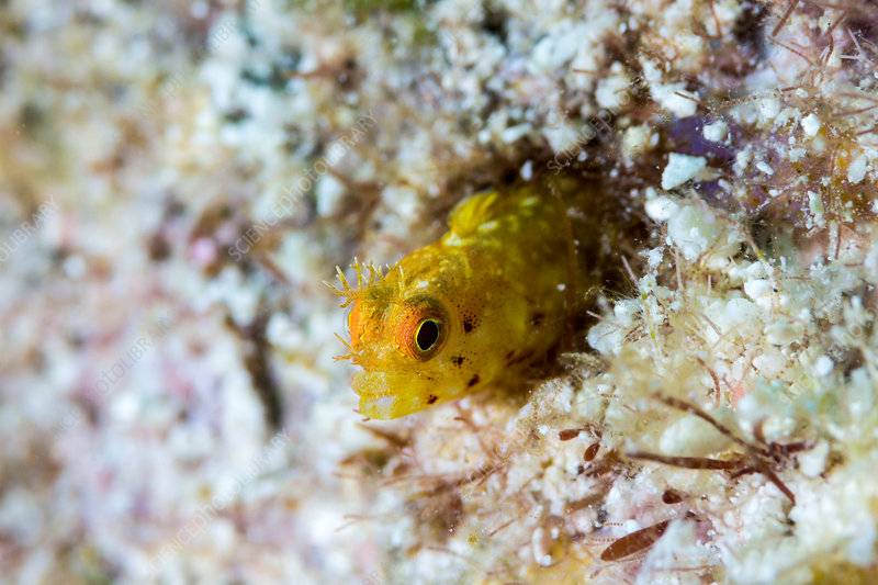 Yellow roughhead blenny