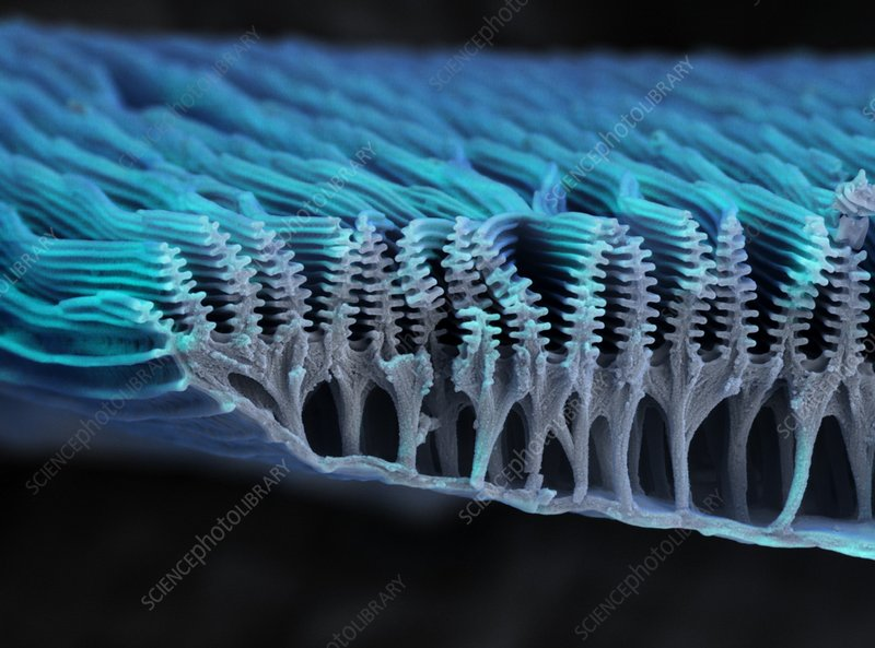 Butterfly wing scale ridges, SEM