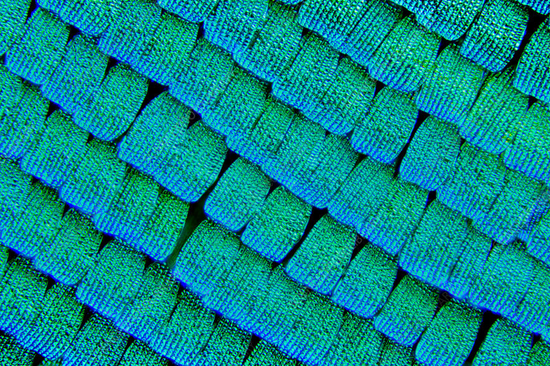 Sea green swallowtail butterfly wing scales