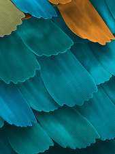 California pipevine swallowtail butterfly wing scales, SEM