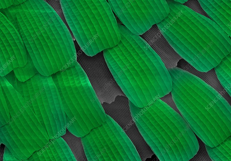 Sea green swallowtail butterfly wing scales, SEM