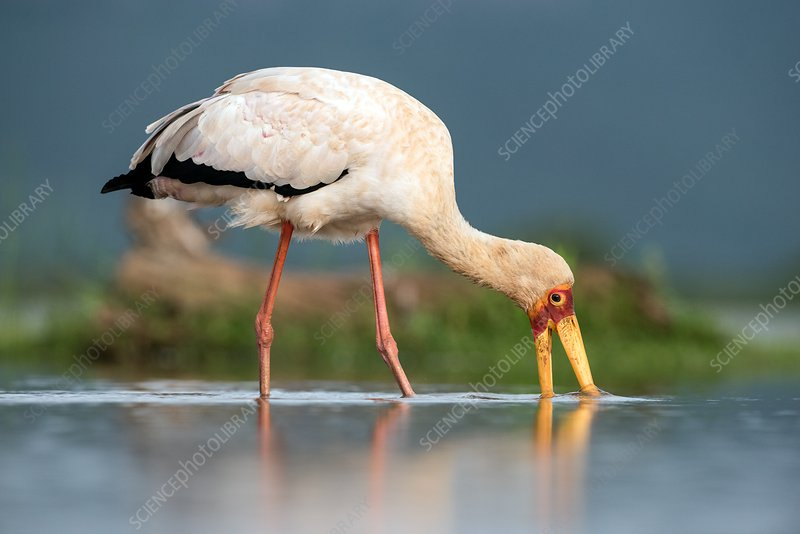 Yellow-billed stork feeding
