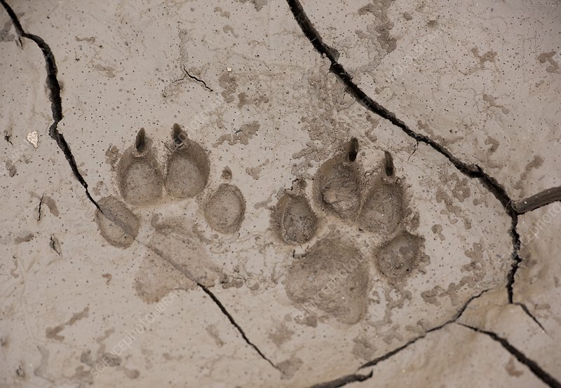 African hunting dog paw prints