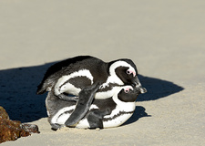 African Penguin Mating