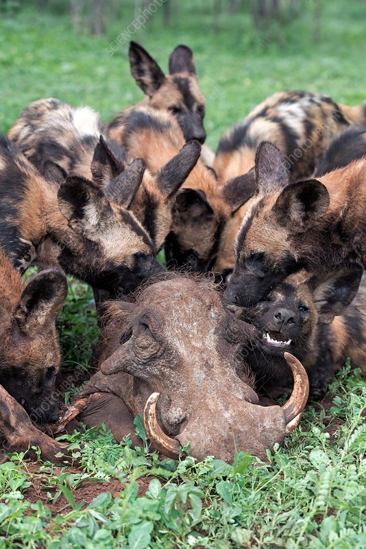 African hunting dogs eating a warthog