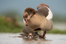 Egyptian geese mating