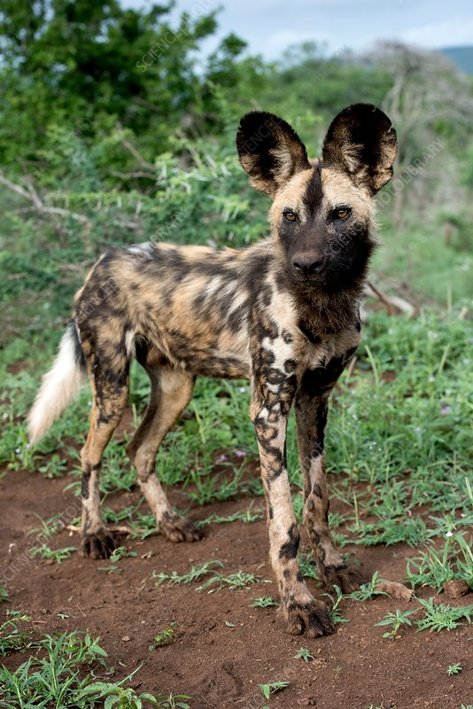 Juvenile African hunting dog