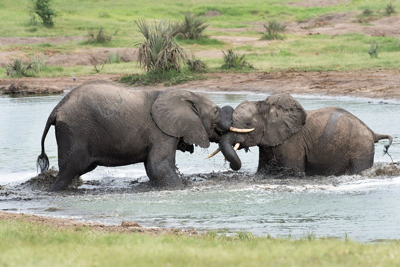 Young African elephant bulls sparing