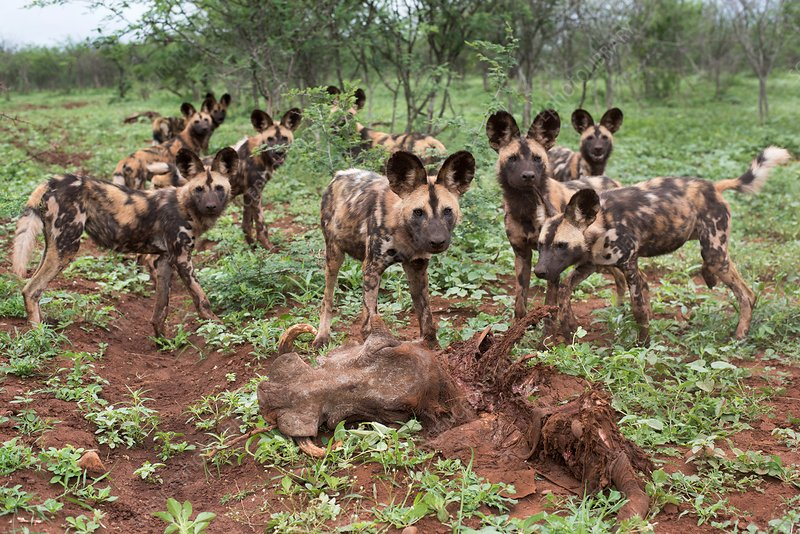 African hunting dogs with Warthog carcass