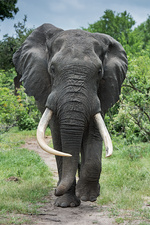 African elephant bull with large tusks