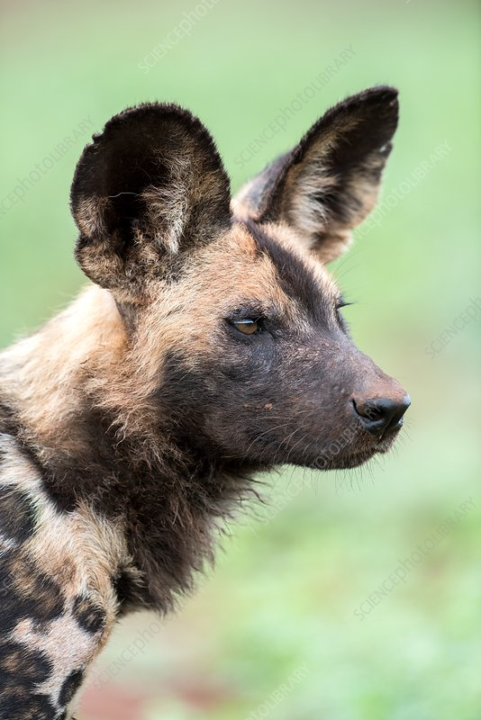 African hunting dog portrait