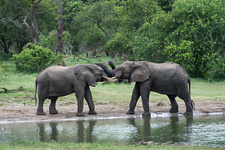 Young African elephant bulls greeting