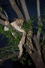 African lioness in a tree after dark