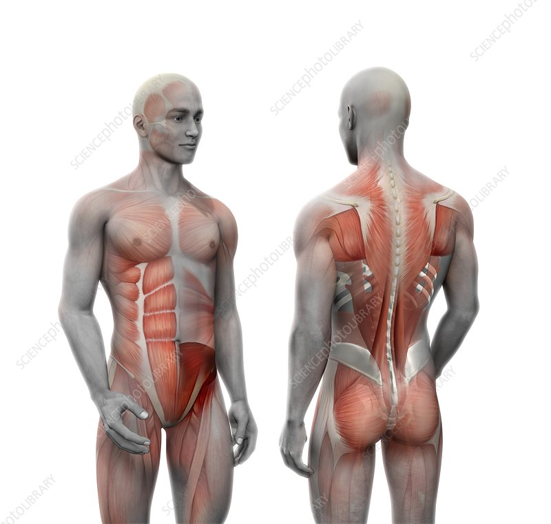 Human muscle anatomy, illustration