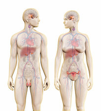 Male and female endocrine glands, illustration