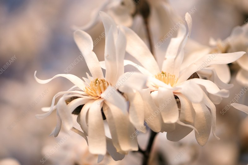 Royal star magnolia (Magnolia stellata) flowers
