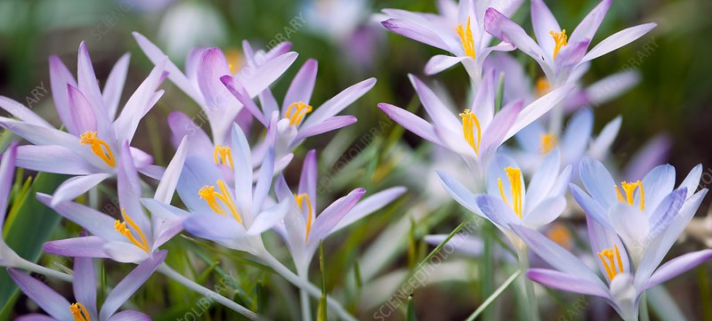 Crocuses (Crocus tommasinianus 'Roseus' and 'Lilac Beauty')