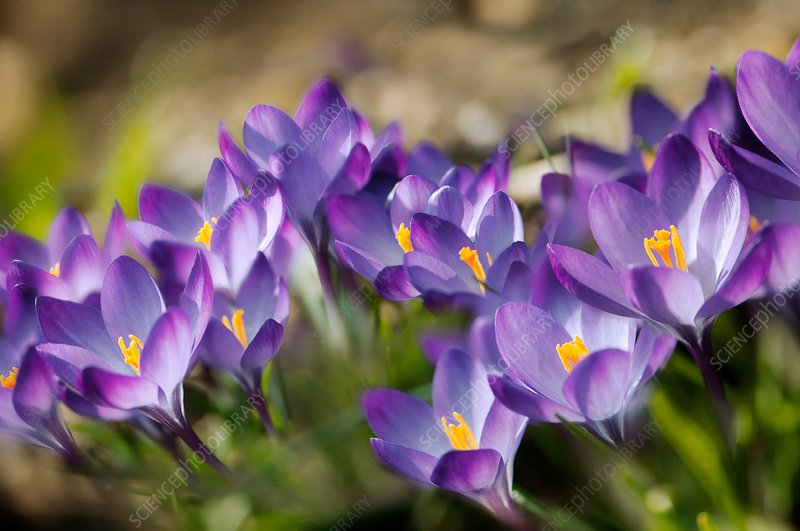 Crocuses (Crocus tommasinianus 'Ruby Giant')