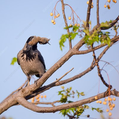 Hooded crow (Corvus cornix) with mouse