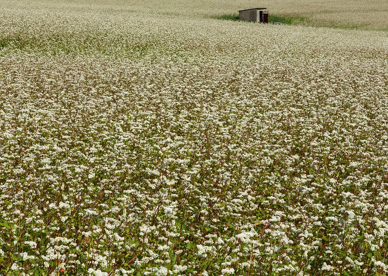 A field of buckwheat plants