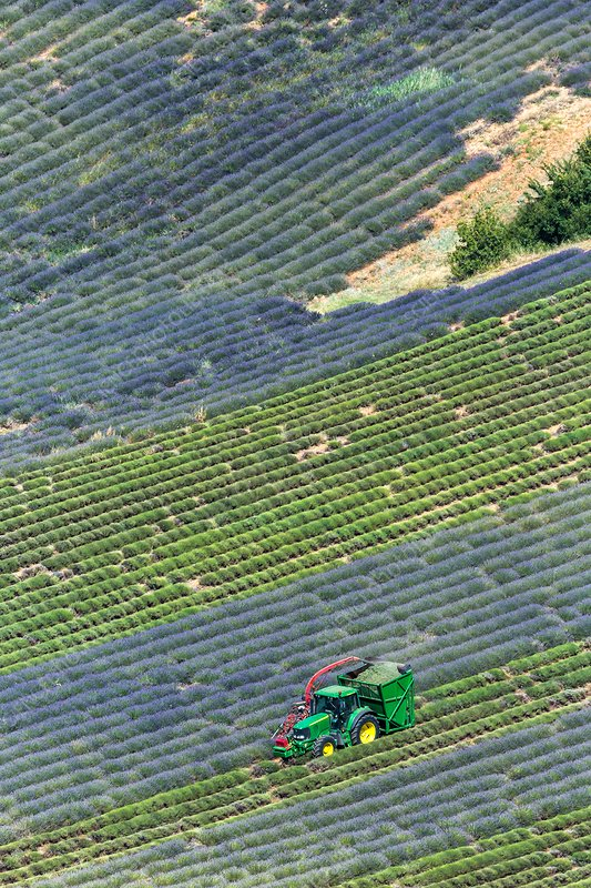 Harvesting lavandin on a steep field