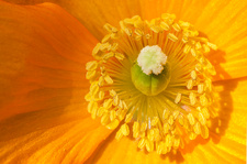 Welsh poppy (Papaver cambricum)