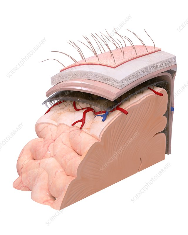 Brain membranes and anatomy, illustration