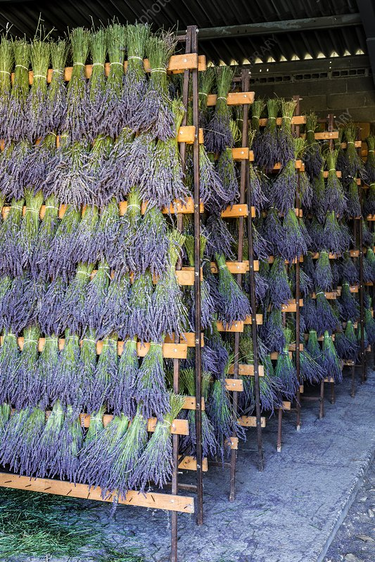 Drying lavandin (lavandula x intermedia)