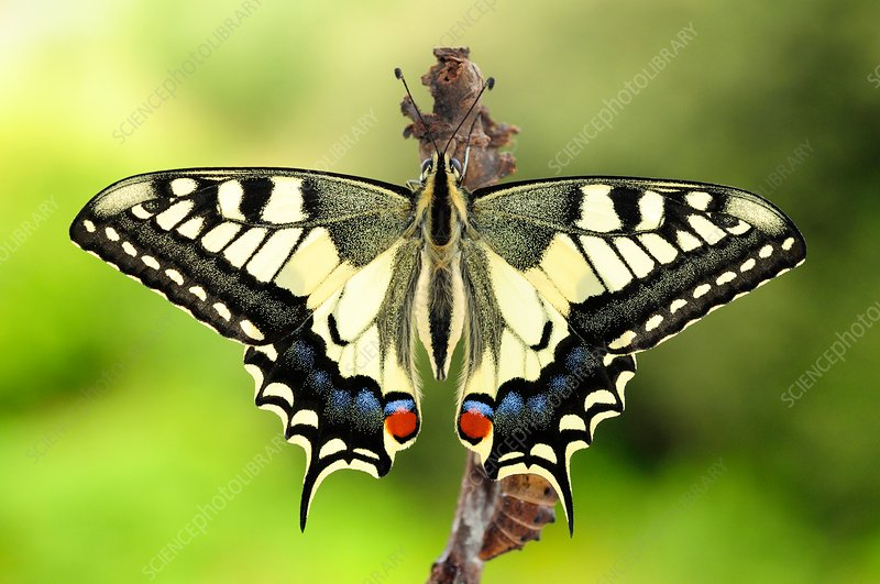 Newly hatched swallowtail butterfly