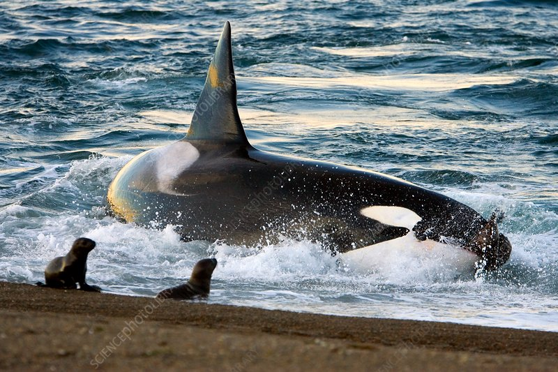Killer whale, Patagonia, Argentina