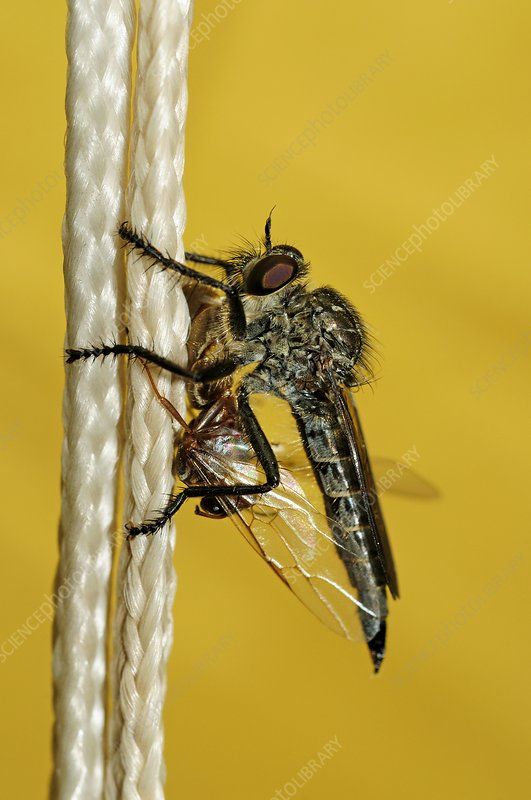 Horse-fly with prey