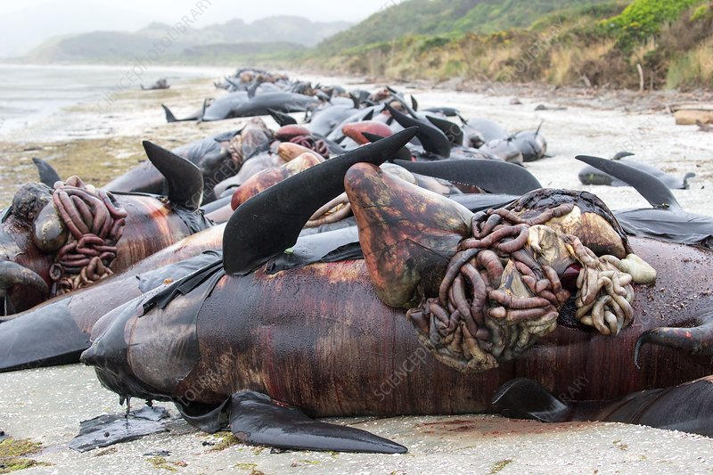 Beached long-finned pilot whales